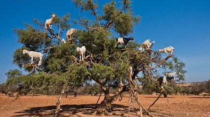 Maroko keistenybė – ožkų bandos medžiuose