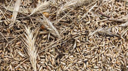 Prekyba neegzistuojančiais grūdais 4 Aukštaitijos ūkininkus atvedė į teisiamųjų suolą