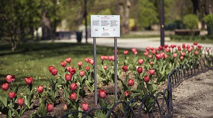 Bernardinų sode pražydo ypatingos – Pasaulio tautų teisuolės Irenos Sendler tulpės