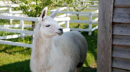 Lama – stebuklingas gyvūnas, galintis suteikti žmonėms idealią apsaugą nuo gripo