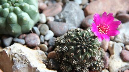 Kaktusų kolekcininkė L.Tomkevičienė – apie perprastas šių augalų priežiūros subtilybes