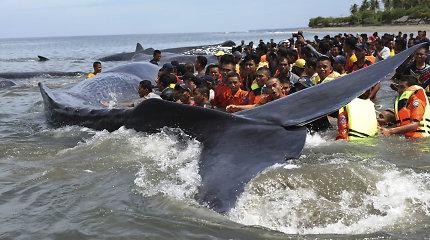 Indonezijoje nepavyko išgelbėti keturių krante įstrigusių kašalotų