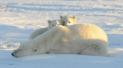 Svalbarde nušautas baltasis lokys