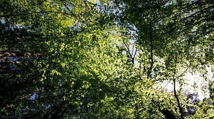 Negyvoji miško mediena: nauda ar žala?