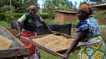 Organinio kavos ūkio kasdienybė – kavos trenerio pasakojime iš kelionės ir darbo Kenijoje