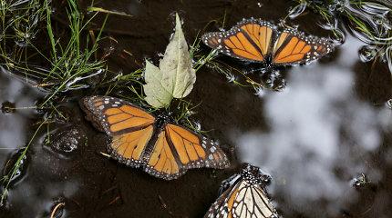 Meksikoje rastas negyvas antras drugelių monarchų apsaugos darbuotojas