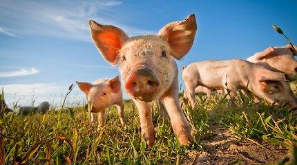 Nedideliame ūkyje Kauno rajone – afrikinio kiaulių maro židinys