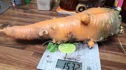Kauno rajone užaugo morka gigantė – sveria daugiau kaip 1,5 kg
