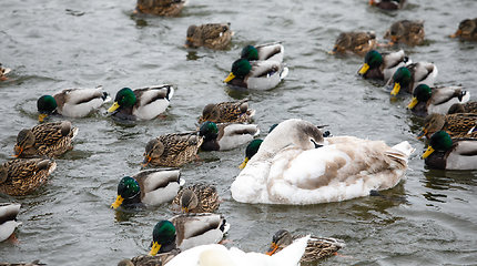 Rekordiniai paukščių gripo protrūkiai Europoje kelia vis didesnį susirūpinimą ir Lietuvoje