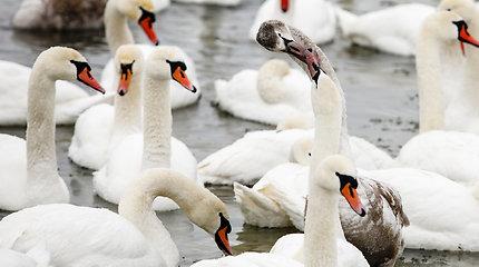 Dar viena paukščių gripu užsikrėtusi gulbė aptikta Druskininkuose