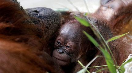 Paryžiaus zoologijos sodas pristatė savo naujausią gyventoją – orangutano jauniklę