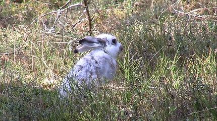 Baltakailis kiškis Lietuvoje nespėja su klimato kaita: kailis nedera su žaliuojančia gamta