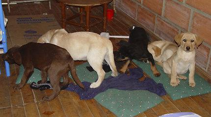 Nuteistas Kolumbijos veterinaras, į šunų kūnus implantavęs paketus su heroinu