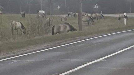 Vilniaus rajone, ties Ažulauke, arkliai vaikšto laisvėje