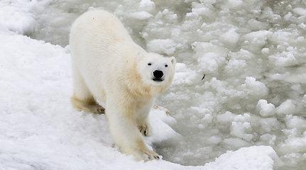 Laplandijos gyvūnai Ranua zoologijos sode Suomijoje
