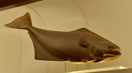 Neįkainojamos dovanos Tado Ivanausko muziejui: gyvenimo žuvis ir 7000 moliuskų kriauklių