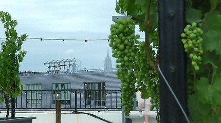 Pirmasis pasaulyje vynuogynas ant stogo niujorkiečius keri atsiveriančiu vaizdu
