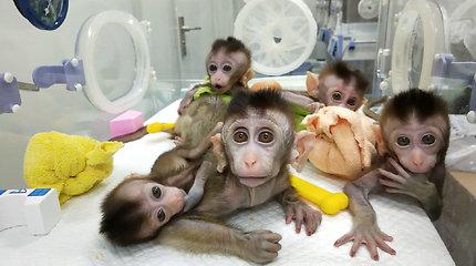 Gąsdinantis ir žavintis laimėjimas: klonuotos pirmosios istorijoje genetiškai modifikuotos beždžionės