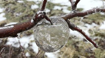 """Po pūgos ūkininką nustebino ant obelų šakų kabantys dar nematyti """"vaiduokliški obuoliai"""""""