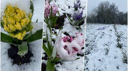 Žiema gegužės mėnesį – sniegas užklojo laukus ir pavasarinius žiedus