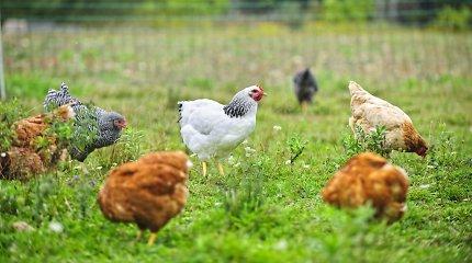 Lietuvos paukštininkystės atstovai susitiko su VMVT: nerimauja dėl Lenkijos paukščių gripo