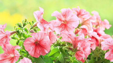 Estijoje mėginta prekiauti uždraustomis genetiškai modifikuotomis gėlėmis