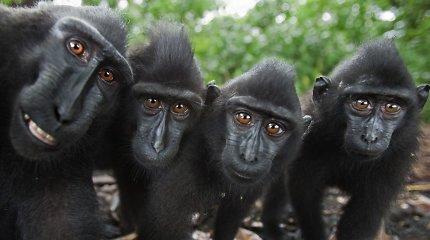 Kinijoje klonuotos genetiškai modifikuotos beždžionės