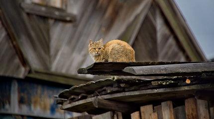 Devynios gyvybės: ar išties katės gali išgyventi kritimą iš didelio aukščio?