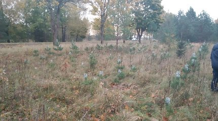 Siaučia medienos vagys: Tauragės rajone miško savininkas pasigedo 500 pušelių