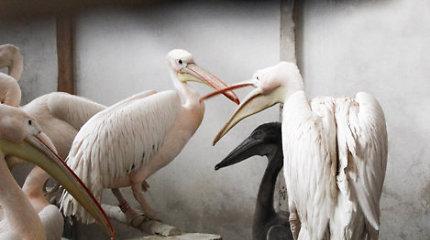 Zoologijos sode – rausvojo pelikano jauniklis