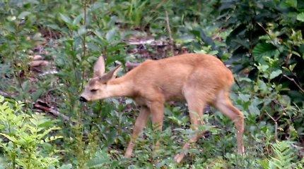 Už neteisėtai sumedžiotus retus gyvūnus – didesnės baudos