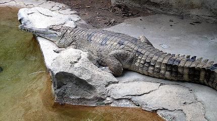 Nyderlandų zoologijos sode retos rūšies krokodilų patelė užduso poruodamasi