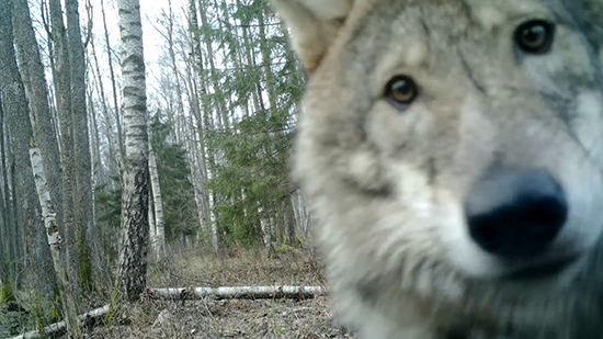 Viešviles valstybinio gamtinio rezervato direkcijos nuotr./Visai neseniai užfiksuotas ir kamera susidomėjęs pilkis.