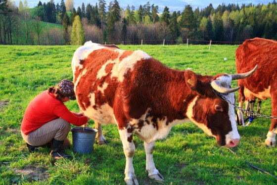 123rf.com nuotr./Įtarimų Seimui nekelia tik maždaug 5 karves norintys auginti ūkininkai
