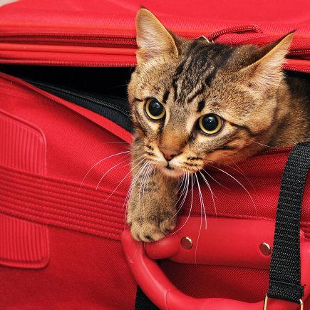 Shutterstock nuotr./Iš lagamino lendanti katė