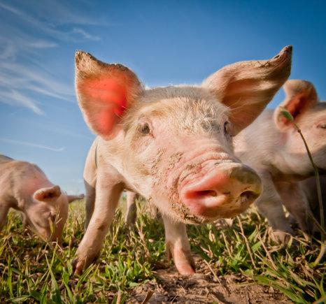 """""""Shuterstock"""" nuotr./Kiaulės"""