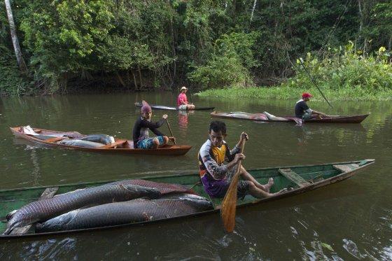 """""""Reuters""""/""""Scanpix"""" nuotr./Didžiausių gėlavandenių žuvų – arapaimų (pirarucu) – laimkis Amazonės regione, Solimoes upėje. 2013 m. gruodžio 15 d."""