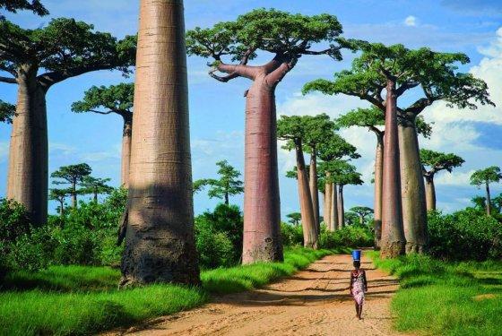260 metrų ilgio baobabų alėja leis pasijusti pasakų herojumi.