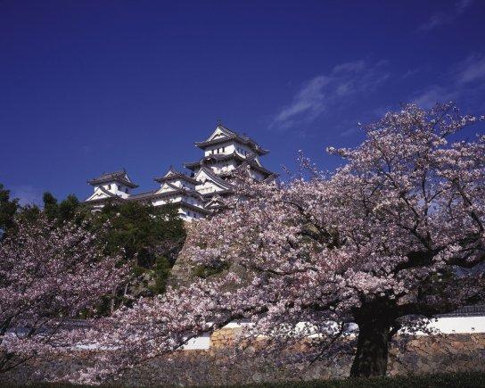 123rf.com nuotr./Aplink Himeji pilį auga maždaug tūkstantis sakurų
