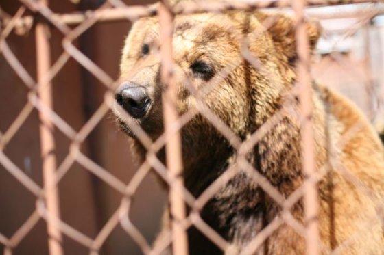 """Tomo Pikturnos nuotr./Rudoji meška į """"Mini zoo"""", įtariama, atkeliavo nelegaliai."""