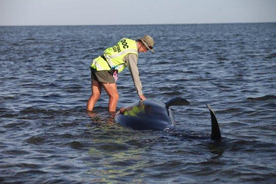 """""""Scanpix""""/AP nuotr./Naujojoje Zelandijoje ant seklumos užplaukė bangininiai delfinai"""