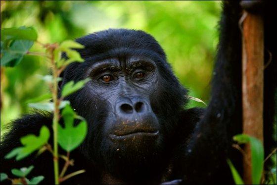 123rf.com nuotr./Į Virunga kalnus keliautojai traukia pamatyti nykstančių gyvūnų - kalnų gorilų.