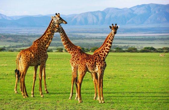 123rf.com nuotr. /Žirafos Ngorongoro krateryje