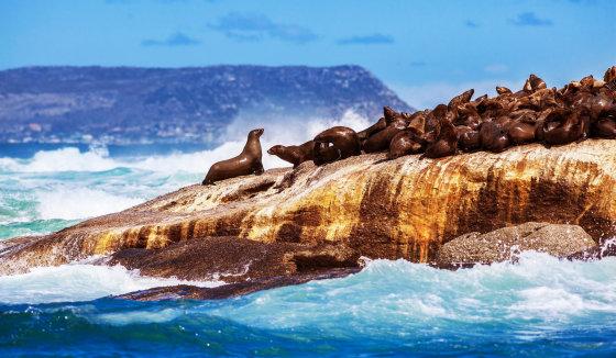 123rf.com nuotr./Jūrų ruoniai saloje prie Pietų Afrikos krantų