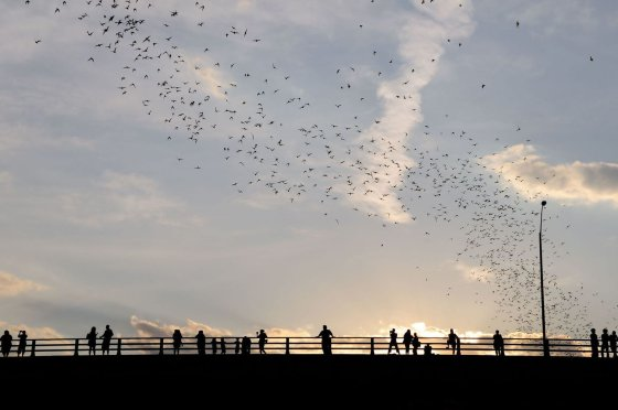 123rf.com nuotr./Šikšnosparnių pulkai Ostine, Teksase