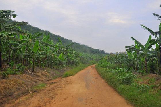 M.Vadišio nuotr./Bananų plantacijos Ugandoje plyti visur