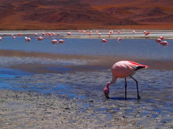 A.Kondrotaitės nuotr./Flamingai