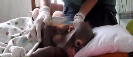 Kadras iš filmuotos medžiagos/Išsekęs orangutangas