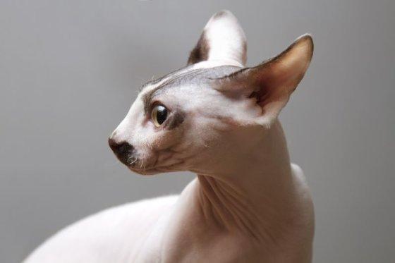 Shutterstock nuotr./Sfinkso katė