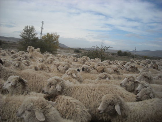 Avių banda, sutikta pakeliui į David Garedžą